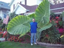 8 graines OREILLES D' ELEPHANT(Colocasia gigantea)T07 GIANT ELEPHANT EAR SEEDS