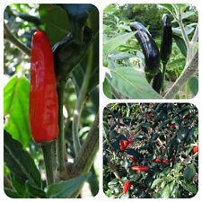Goats Weed außergewöhnliche Chili schwarz-rote Chilli behaarte Blätter und Äste