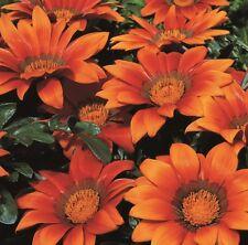 Gazania-Kiss Naranja - 15 semillas