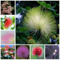 20 Seed Albizia Flower Tree Rare Kinds Potted Bonsai Plants in Home Garden Decor