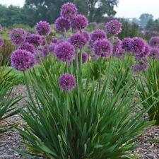 sun allium LAVENDER BUBBLES* ornamental onion 2.5