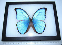 REAL FRAMED BUTTERFLY BLUE MORPHO DIDIUS PERU