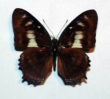 FANTASTIC ABERATION of METAMORPHA ELISSA - set/spread specimen