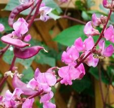 20 Seeds Dolichos Bean Liana Vines Flowers Rare Kinds Bonsai Plants Home Garden