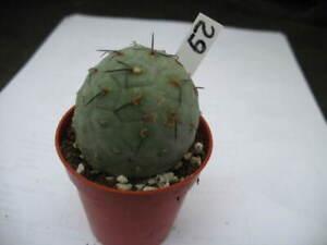 TEPHROCACTUS GEOMETRICUS (29) = cacti 仙人掌 กระบองเพชร kakteen