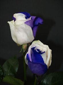 70 SEMI DI ROSA Blu-White