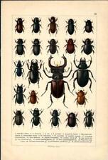 Stampa antica INSETTI COLEOTTERI COLEOPTERA 1893 Antique print insecta 20