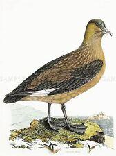 PAINTING BOOK ILLUSTRATION COMMON SKUA SEA BIRD ORNITHOLOGY POSTER PRINT LV2355
