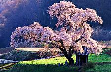 Incorniciato stampa-Oriental Cherry Blossom Tree in un parco giapponese (PICTURE POSTER)