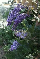 sale! Wisteria Purple Flowers 1 Plant!