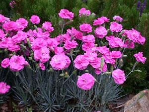 Dianthus Scent First  Tickled Pink  9cm organic Pot 💮'