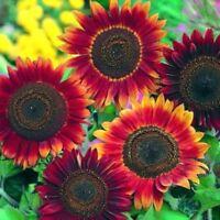 100Stk Duftende Rote Sonnen Blumen Samen Winterharte Blühende Staude Sonnenblume
