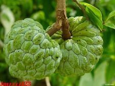 5 Custard Apple Seeds (Annona Squamosa) Tropical Fruits