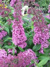 Sommerflieder Buddleja Pink Delight 40-60cm Insektennährpflanze Sommerblüher