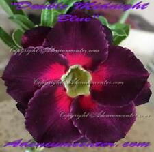 "ADENIUM OBESUM DESERT ROSE "" DOUBLE MIDNIGHT BLUE "" 1 GRAFTED PLANT  FREE SHIP"