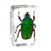 Green Chafer Beetle Insect Specimen Clear Resin Paperweight Specimen Collection