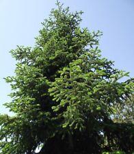 Abies nordmanniana spp equi-trojani - Turkish Fir - 20 Fresh Seeds