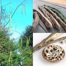 Organic Moringa Oleifera 50 Seeds Plants Seeds Drumstick Tree Tree Natural Pure