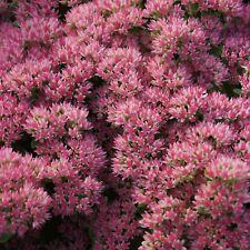Hohe Fetthenne - Sedum Telephium-Hybr. 'Herbstfreude' Staude Bienenpflanze
