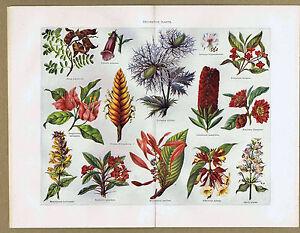 BOTANY:  Decorative Plants - 1901 Natural History Print