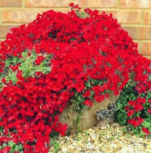 Creeping Thyme Red ROCK CRESS 100 PCS Seeds Perennial Natural Growth Home Garden