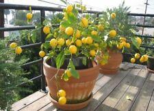 10 Lemon Tree Seeds Relic Lime Potted Plant Rare Fruit Home Garden Bonsai Plants