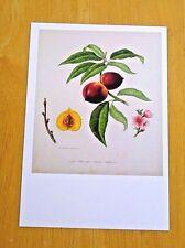 RHS FRUIT & VEG POSTCARD ~ PERSIMMON ORANGE NECTARINE BY WILLIAM HOOKER, 1820