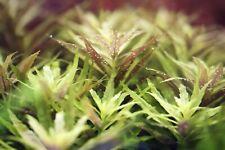 4 Stems Limnophila Aromatica Mini Live Aquatic Plants & Get Other Freebies!