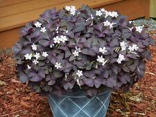9-OXALIS PURPLE SHAMROCK BULBS-GOOD LUCK PLANT (NOT SEEDS)