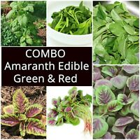 AMARANTH Edible Green & Red 125 Seeds HEIRLOOM vegetable garden ASIAN veggie 2pk