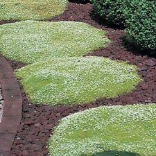 Irish Moss 'Pearlwort' (Sagina Sabulata) - 200 Seeds