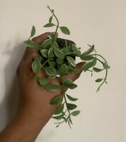 Variegated Dischidia Cascade Epiphytic Exotic Tropical vine Hanging Plant Rooted