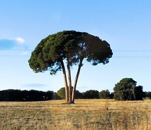 1 Plant pinus Pinea Pine Pet 5-10cm tree Pine garden