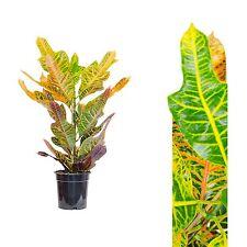 Codiaeum var.großblättrig,60-75cm+/,Kroton,Wunderstrauch, Zimmerpflanze