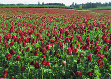 SeedRanch Crimson Clover Seed : Nitro-Coated & Inoculated - 5 Lbs.