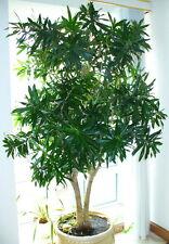 "Song of Jamaica (Dracaena reflexa pleomele), live rooted plant more than 8"" tall"
