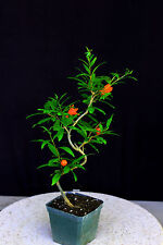 "Japanese fruiting, flowering twisted pomegranate 4"" pot"