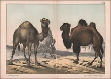 Dromedary & Bactrian Camel, antique chromolithograph, print, original 1887