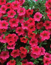 50 Calibrachoa Million Bells Trailing Magenta Live Plants Diy Planters D10002