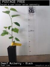 Dwarf Mulberry - Black (Morus nigra) Fruit Tree Plant