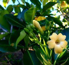 *100 fresh Seeds*Fagrea Berteriana*Perfume Flower Tree*pua kini kini*