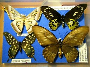 StoreBox 2 (4) Tropical Butterfly Moths Insect Lepidoptera Taxidermy Entomology