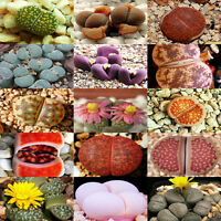 100 X Rare Mix Lithops Seeds Living Stones Succulent Cactus Organic Bulk Seeds