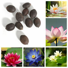 10Pcs Lotus Water Lily Flower Bowl Pond Fresh Seeds Perfume Blue Lotus Bonsai at