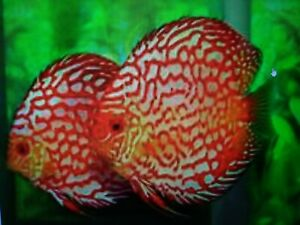 Blue Spotted Pigeon Discus-Live Tropical Fish