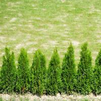 Platycladus Thuja Orientalis Bonsai For Home Plants Garden Tree NEW 50 Pcs Seeds