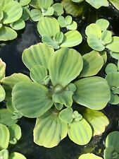 "Water Lettuce, 5 plants, 3 - 4"" in diameter: Pond or Aquarium: Free Shipping"