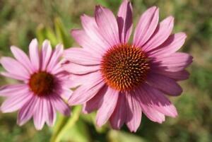1 Purpur Sonnenhut  Echinacea purpurea Schnittblume