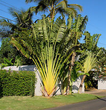 Travellers Palm (Ravenala madagascariensis) 20 Fresh Seeds