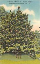 Davie Florida~Flamingo Groves~Sapodilla or Chicle Tree~1952 Linen Postcard
